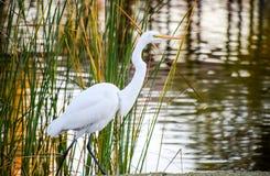 在Santee湖的偷偷靠近的白鹭在加利福尼亚 库存图片