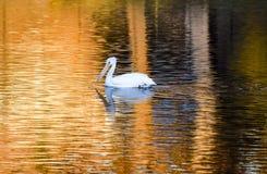 在Santee湖的白色鹈鹕日落的 图库摄影