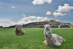 在Saqsaywaman印加人站点的羊魄 库斯科 秘鲁 免版税库存照片