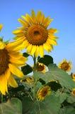 在Saraburi泰国的向日葵领域 库存照片