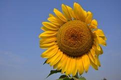 在Saraburi泰国的向日葵领域 库存图片