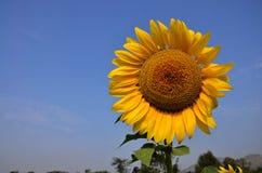 在Saraburi泰国的向日葵领域 免版税图库摄影