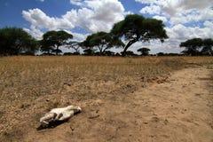 在savana的一块头骨 免版税库存照片