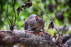 在Sawgrass湖公园佛罗里达的灰鼠 库存图片