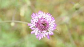 在Scabiosa atropurpurea花的长的Hoverfly 股票录像