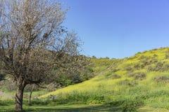 在Schabarum地方公园的美丽的黄色野花开花 图库摄影
