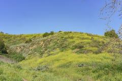在Schabarum地方公园的美丽的黄色野花开花 免版税图库摄影