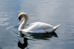 在Schwansee湖的白色天鹅 免版税图库摄影