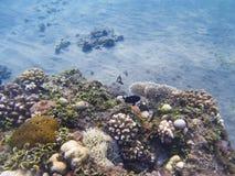 在seabottom的年轻珊瑚礁 异乎寻常的海岛岸浅水区 免版税图库摄影