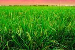 在Sekinchan,雪兰莪,马来西亚的稻田 免版税库存图片