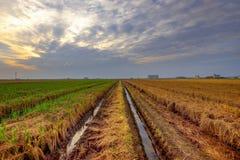 在Sekinchan,雪兰莪,马来西亚的稻田 库存照片