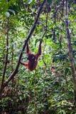 在Sepilok自然保护的狂放的orangutang在沙巴,婆罗洲, Mala 图库摄影
