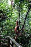 在Sepilok自然保护的狂放的orangutang在沙巴,婆罗洲, Mala 免版税库存图片