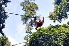 在Sepilok自然保护的狂放的orangutang在沙巴,婆罗洲, Mala 库存照片