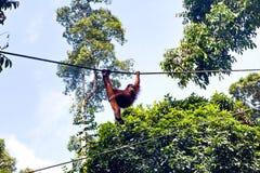 在Sepilok自然保护的狂放的orangutang在沙巴,婆罗洲, Mala 免版税库存照片