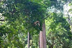 在Sepilok自然保护的猴子在沙巴,婆罗洲,马来西亚 免版税库存图片