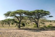 在serengeti的金合欢 图库摄影