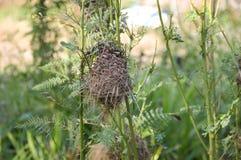 在sesbania树的鸟巢在自然庭院里 库存图片