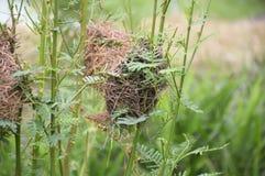 在sesbania树的鸟巢在自然庭院里 免版税图库摄影