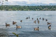 在Seward公园3的加拿大鹅 库存图片