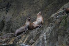 在Seward阿拉斯加外面的星海狮 库存照片
