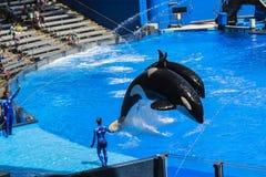 在Shamu的虎鲸向海世界奥兰多佛罗里达显示 免版税库存图片