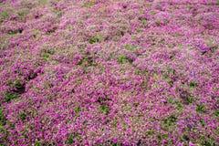在Shibazakura花节日的桃红色青苔领域 免版税库存照片