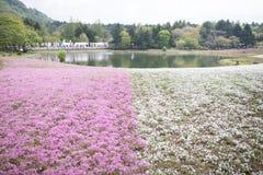 在Shibazakura花节日的青苔领域 库存图片