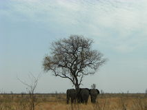 在Shingwedzi的3头大象 库存照片