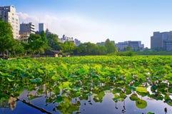 在Shinobazu池塘的莲花 库存照片