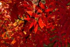 在Shiretoko的秋季色的叶子 免版税图库摄影