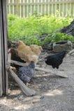 在Shoal Creek生存历史博物馆的鸡 库存照片
