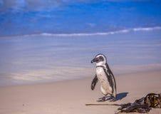 在Simons镇著名冰砾海滩的亦称非洲企鹅蠢企鹅demersus在开普敦附近的在南非 免版税图库摄影