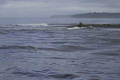 在Sirena河的嘴的公牛鲨鱼, Corcovado国家公园, Osa半岛,哥斯达黎加 免版税库存照片