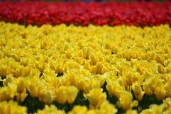 在Skagit谷的黄色和红色郁金香 库存图片