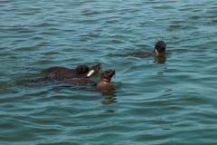 在skele附近岸的海狗游泳巨大的牧群家庭  库存照片