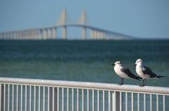 在Skyway桥梁前面的海鸥 库存图片