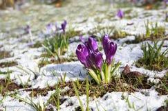 在smow草甸的紫色番红花花 图库摄影