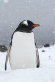 在sno期间,在一个积雪的海滩站立的Gentoo企鹅 免版税图库摄影