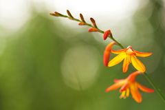 在solf光的橙色Crocosmia花 免版税库存图片