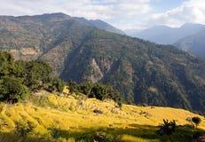 在Solukhumbu谷,尼泊尔的金黄露台的米领域 免版税库存照片