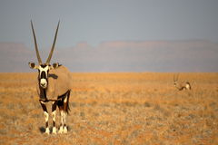 在Sossusvlei,纳米比亚附近的羚羊属 库存图片