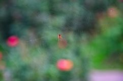 在spiderweb的蜘蛛 图库摄影