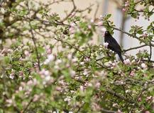 在sping的开花的苹果树与在分支的一个黑鹂 库存图片