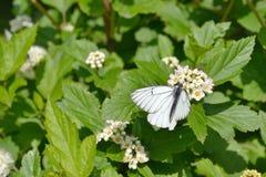 在spirea灌木的蝴蝶山楂树  免版税库存照片