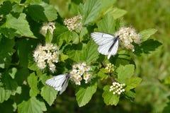 在spirea花的两只蝴蝶  免版税库存图片