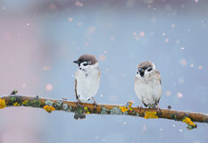 在spr期间,两只滑稽的鸟在公园坐在分支 库存照片