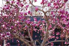 在springï ¼ ŒPurple木兰的开花的木兰花 图库摄影