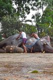 在Sri Dalada Maligawa康提,斯里兰卡的大象 免版税库存图片