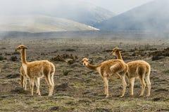 在stratovolcano钦博拉索山,中央厄瓜多尔附近的Vicugnas 库存照片